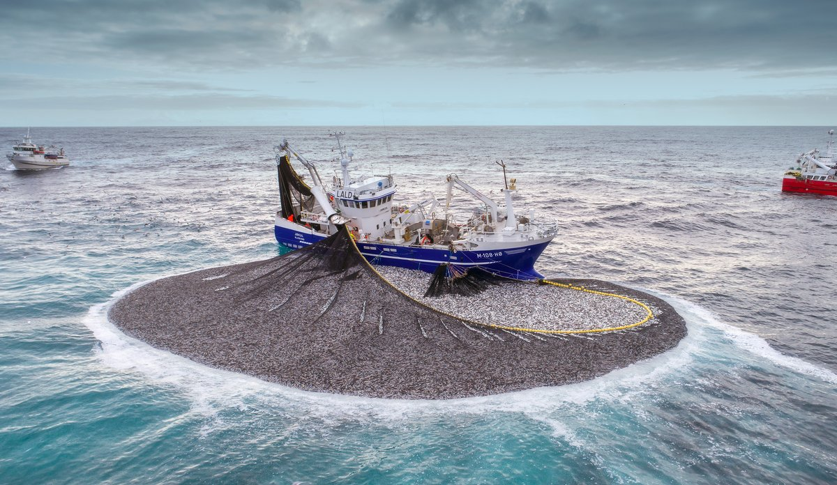 dronefoto av fiskebåt med sildefangst i nota