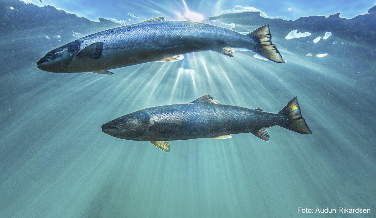 Laks i havet - Audun Rikardsen.jpg