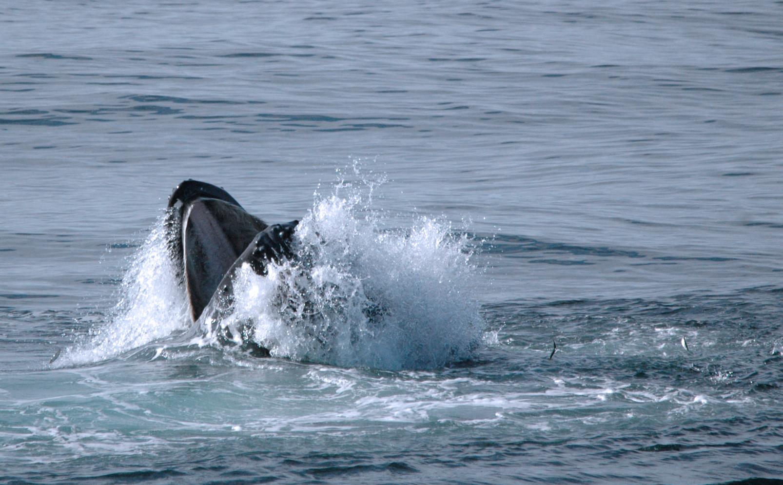 Knølhval angriper ungsild med åpent gap i sørlige Barentshavet hvor flere sild er synlige i løse luften.
