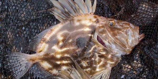 C:\Users\a22905\Documents\Nyare artar i norske farvatn\Bilder\stpetersfisk.jpg